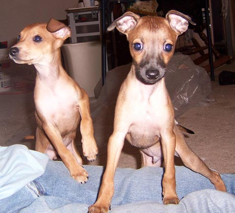 Pictures+of+italian+greyhound+puppies